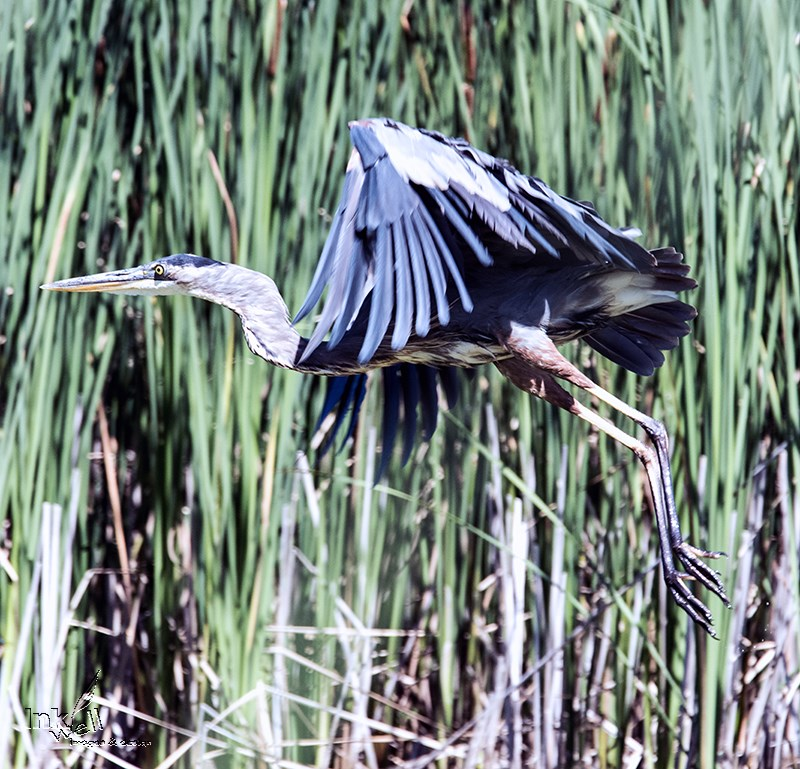 Heron, taking to flight, Long Poing, Ontario