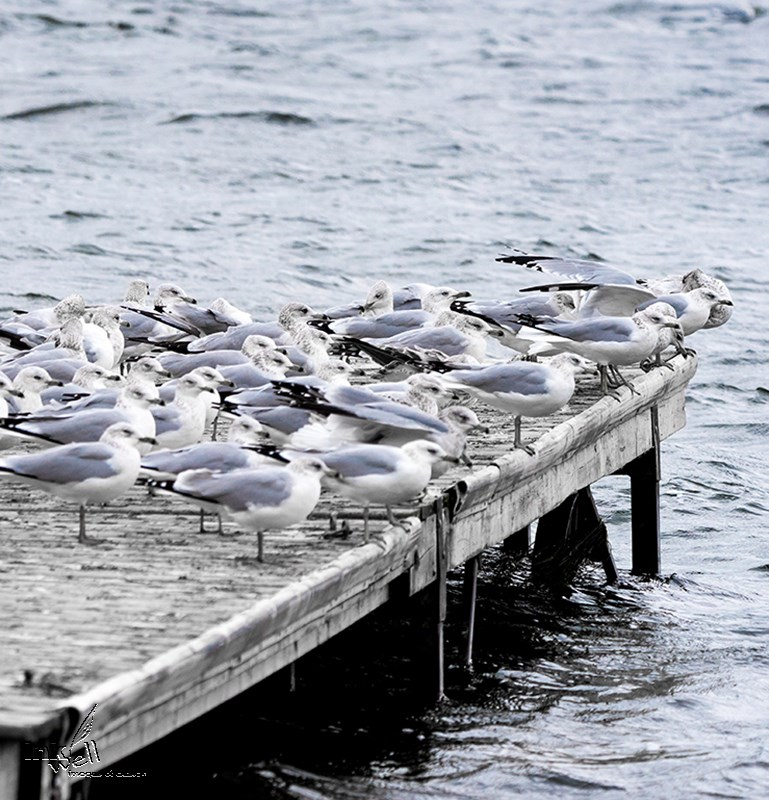 Resting Seagulls on dock - Prince Edward County