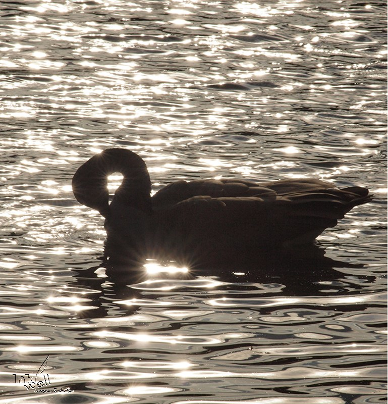 Silhoutte of Canada Goose in water
