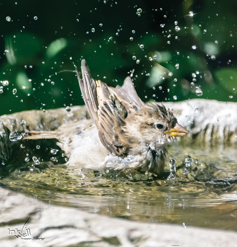 Sparrow having a bath - canvas available for viewing